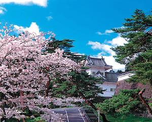 青葉山公演の桜