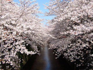 目黒川の桜:出典:NAVERまとめ